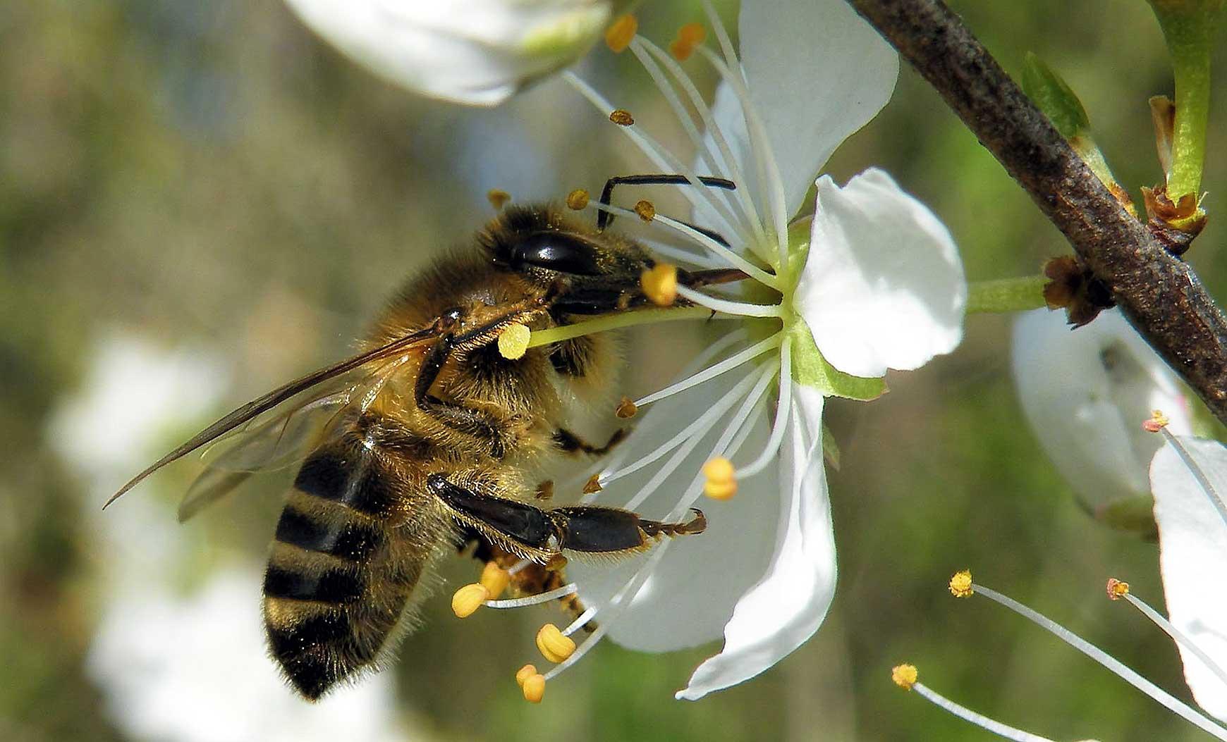 Biene an Birnenbluete