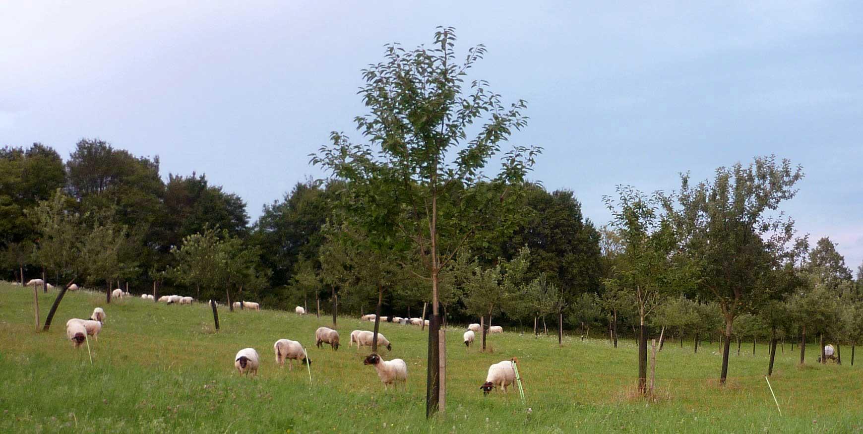 Schafe auf Streuobstwiese