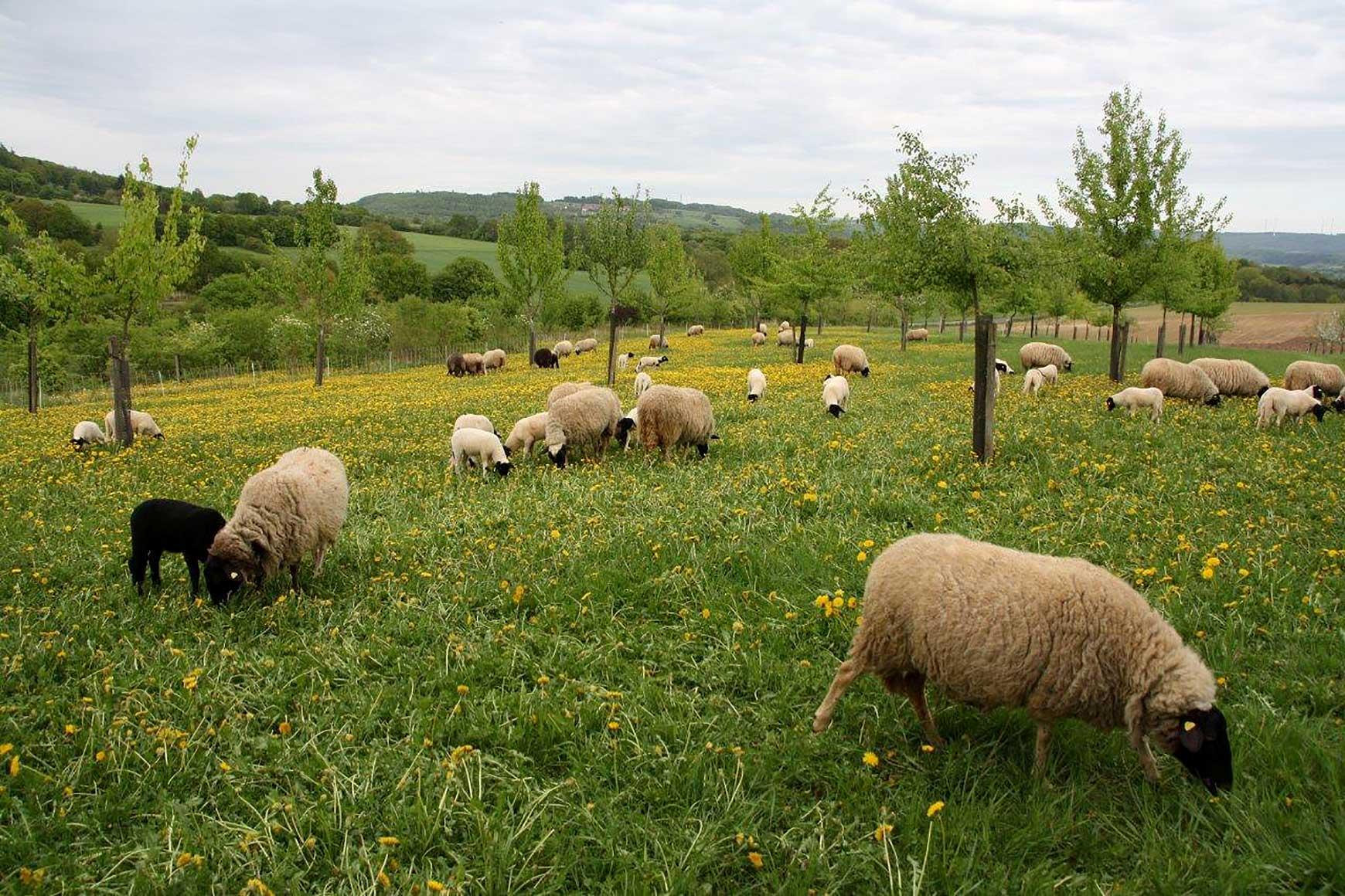 Röhn-Schafe